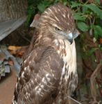 Not so wild Red Tail Hawk: 4 by RomenusWolf