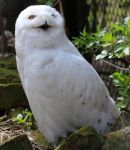 Bird 321 - fluffy snowy owl by Momotte2stocks