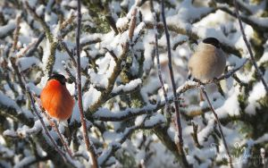 Mister and Missus Bullfinch by RavenMontoya