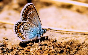 butterfly widescreen wp by blackasmodeus