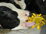 Cow and Sunflower by Habibahmadi