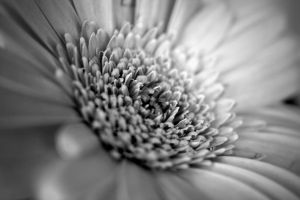 Petals in B+W by dl-p