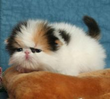 Persian Cats and Kittens22 by moath99