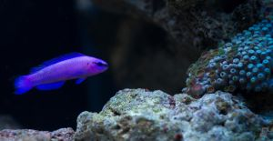 Orchid Dottyback by gmwebs