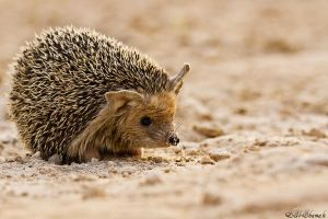 hedgehog by al3aneed55