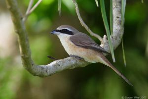 Shrike at Rest by garion