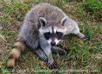 """Racoon """"what did I do?"""" by Adiantum"""