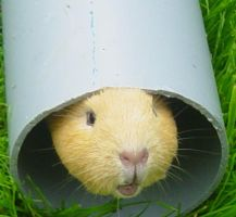 google the guinea pig by annazee