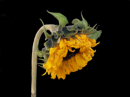 Sunflower Head PNG Stock by Meta-Stock