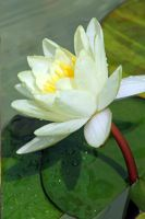 Water Lily by I-Heart-Photos