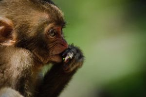 Young monkey by HenrikHolmberg