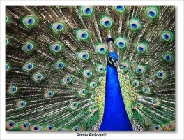 Peacock by ScoobyUSA