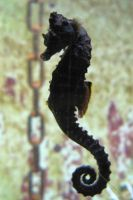 Seahorse Stock 01 by Malleni-Stock
