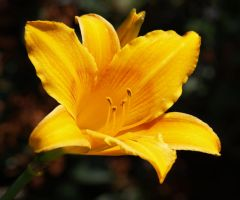 yellowish orange lily 1 by mohaganbev
