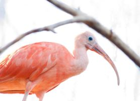 pink ibis by LadyDyme