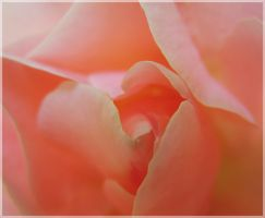 La vie en rose by VasiDgallery