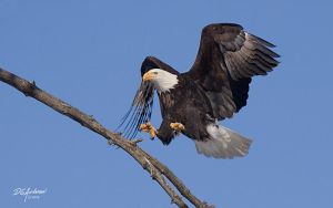 The eagle is landing by DGAnder
