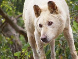 Dingo in Australia by AngeliCafarelli