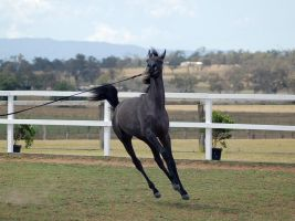 GE Arab filly grey canter front on by Chunga-Stock