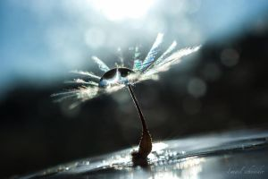 Drop On Dandelion Seed by isischneider