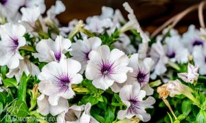 Inverted Colored Petunias by Skv0ra