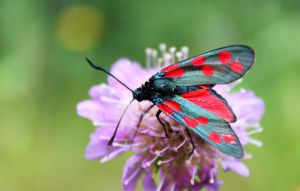 Burnet moth by wormwood-doll