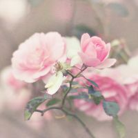 rose linen. by alais-photography