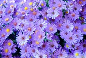 Purple Asters II by charliemarlowe