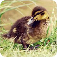duckling. by Atreja