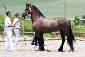 1 Keuring do Cavalo Friesian by CC-PhotoArt