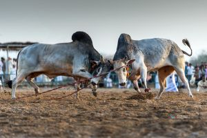 Bull-Fight by vinayan