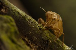 Moulted cuticula of cicada by vetchyKocour