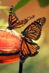 Butterflies by williamdaros