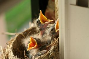 Baby Robins in nest 3 by kwpatrick