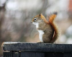 130326 Red Squirrel by TalizmynVox