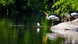 The Painted Stork wallpaper by Fotograpfie