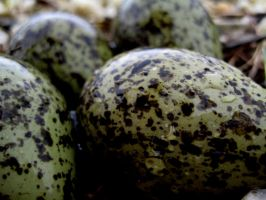 Plovers Eggs by James-Fong