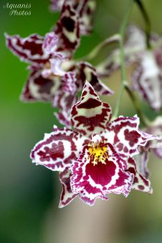 Orchid II by aquanis-photos