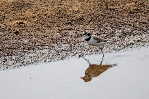 Little-ringed Plover by DebasishPhotos