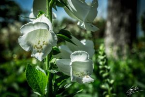 White Bells by SevenPhotoDFW