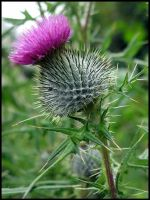 A Thistle by Snapdragon30