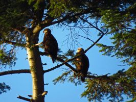 Eagles Sitting In Shade by wolfwings1