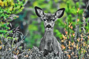 Young Deer on Mt 7 Golden BC by skip2000
