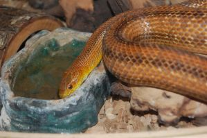 Snake Drinking by adamlonsdale