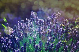 morning lavender by Sylwe
