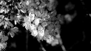 Blossoms IV by PamplemousseCeil