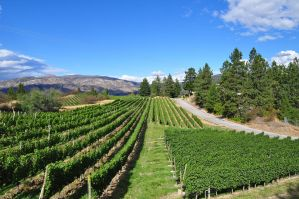 Vineyard in Summerland by Otone
