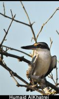 White Collared Kingfisher by aLdEeb