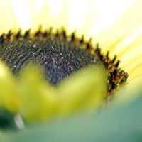 Sunflower by BlueColoursOfNature