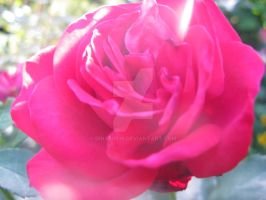 Rose in the light by Dina30918